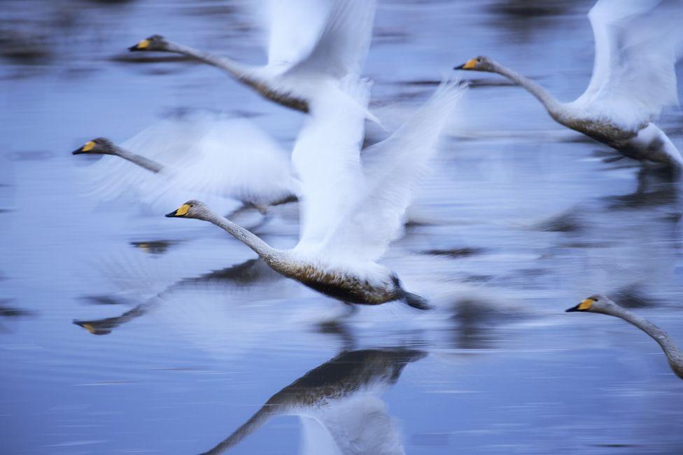 Uçan Kuğular